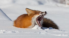 Yawning red fox, Algonquin Island, Toronto Islands