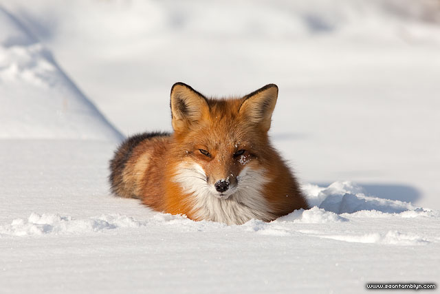 Red fox in snow, Algonquin Island, Toronto Islands