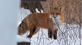 Fox and cat, Ward's Island, Toronto Islands