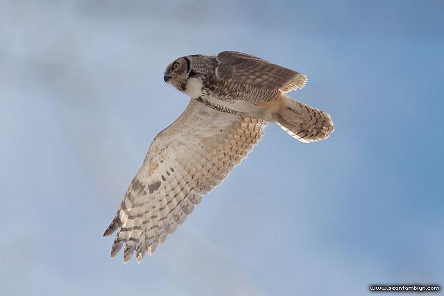 Great Horned Owl, South Island, Toronto Islands