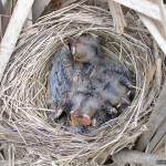 Blackbird chicks in nest, Hanlan's Point, Toronto Islands