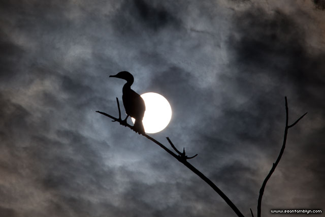 Backlit cormorant, Doughnut Island, Toronto Islands