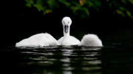Mute swan cygnets, Snug Harbour, Toronto Islands