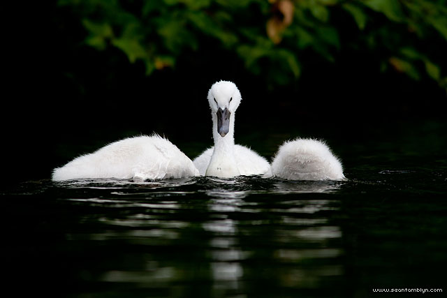 Mute swan cygnets, Snug Harbour, Toronto Islands