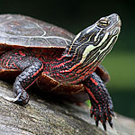 Painted turtle, Doughnut Island, Toronto Islands