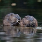 Muskrats, Snug Harbour, Toronto Islands