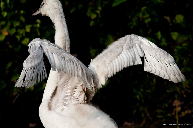Juvenile mute swan wings, Doughnut Island, Toronto Islands