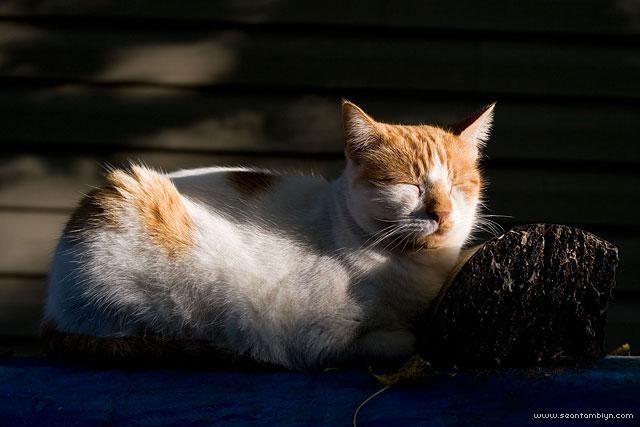 Napping cat, Ward's Island, Toronto Islands