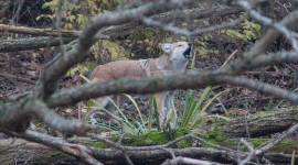 Coyote, Doughnut Island, Toronto Islands