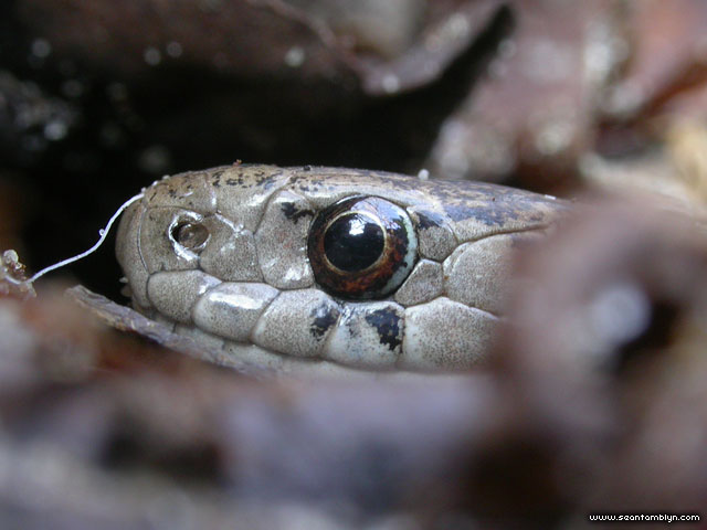 Dekay's Brown Snake, Ward's Island, Toronto Islands