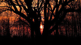 Sunrise through the Great Willow, Ward's Island, Toronto Islands
