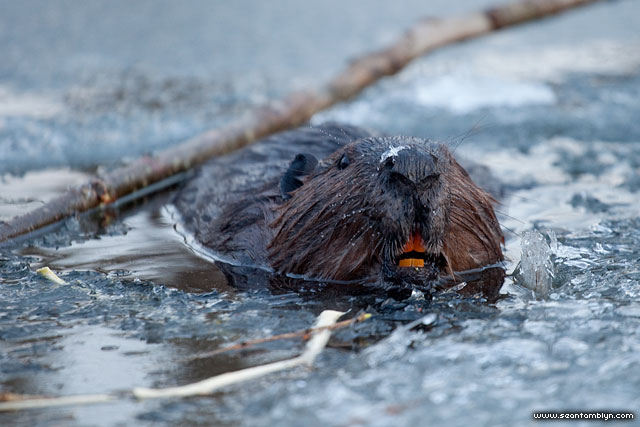 Beaver with stained teeth, Snake Island, Toronto Islands