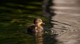 Mallard duckling, Snug Harbour, Toronto Islands