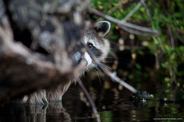 Raccoon, Snug Harbour, Toronto Islands