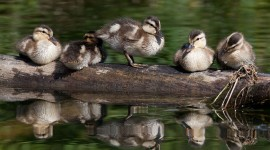 Mallard ducklings, Snug Harbour, Toronto Islands