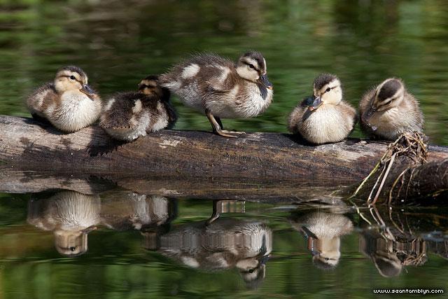 Mallard ducklings, Snug Harbour, Toronto Islands