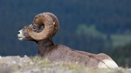 Bighorn Sheep, Parker Ridge, Alberta