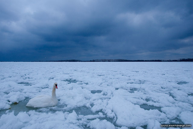 Mute swan, Outer harbour, Toronto Islands