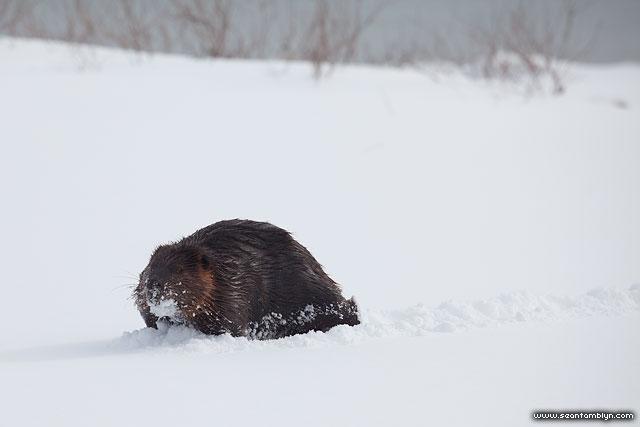 Winter beaver, Ward's Island, Toronto Islands