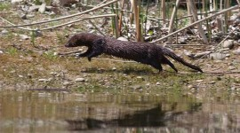 Running mink, Algonquin Island, Toronto Islands