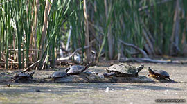 Painted turtles, Trout Pond, Toronto Islands