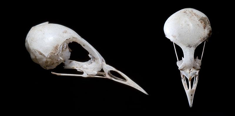 Bird Skull, Snake Island, Toronto Islands
