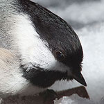 Chickadee, Ward's Island, Toronto Islands