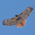 Redtailed Hawk, Snake Island, Toronto Islands