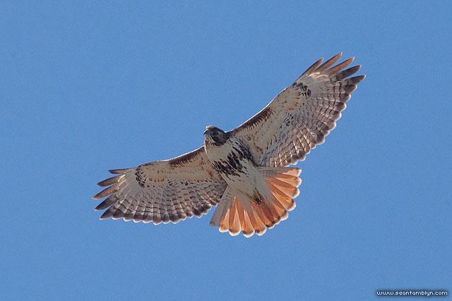 Redtailed Hawk, Snake Island, Toronto Islands