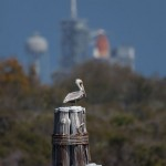 Stork on barge pilings, Kennedy Space Centre, Florida