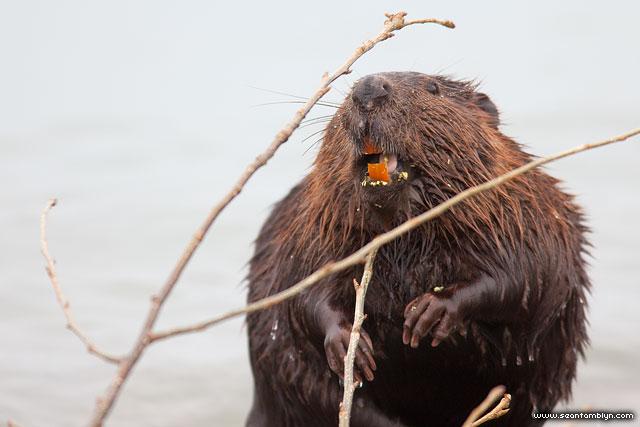 Beaver teeth, Ward's Island, Toronto Islands