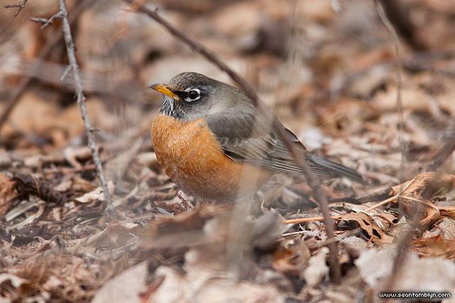Spring Robin, Centre Island, Toronto Islands