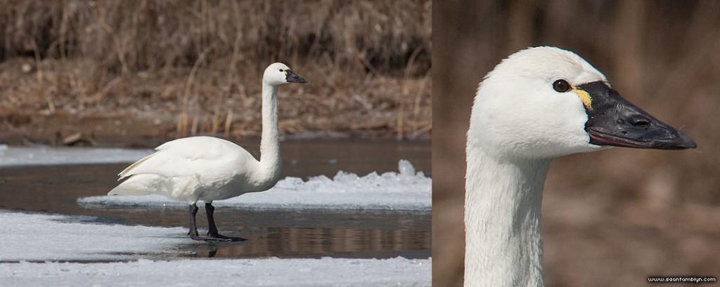 Tundra swan, Algonquin Island, Toronto Islands