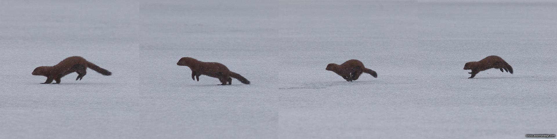 Sprinting mink, Blockhouse Bay, Toronto Islands