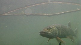 Northern pike, Snug Harbour, Toronto Islands