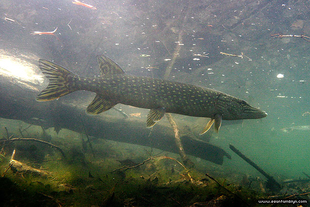 Northern pike underwater, Snug Harbour, Toronto Islands