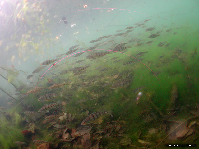 Yellow perch, Snug Harbour, Toronto Islands