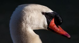 Mute swan portrait, Snug Harbour, Toronto Islands