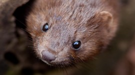 Mink portrait, Ward's Island, Toronto Islands