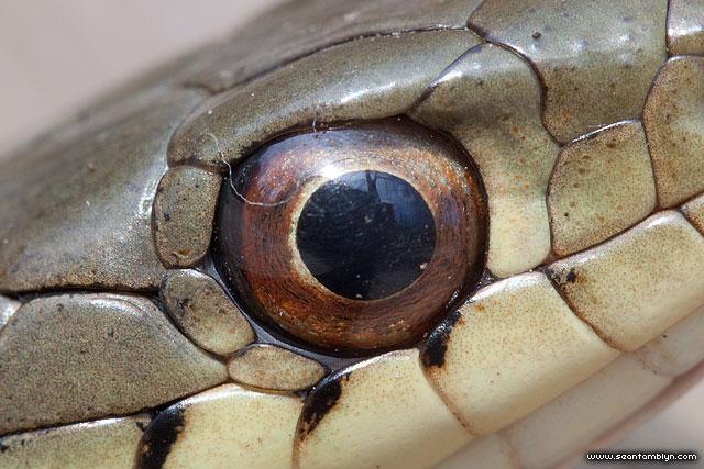 Garter snake eye, Ward's Island, Toronto islands