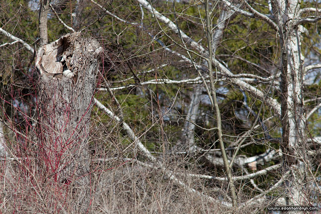 Canada goose nesting in tree, Unknown Island, Toronto Islands