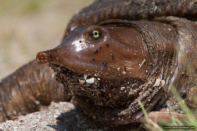 Softshell Turtle, Archie Carr National Wildlife Refuge, Florida