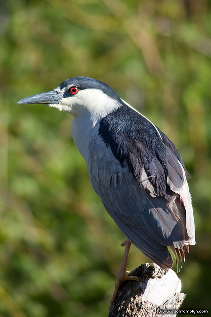 Black-crowned night heron, Snug Harbour, Toronto Islands
