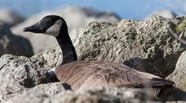 Nesting Canada goose, Olympic Island, Toronto Islands