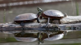 Painted turtles on log, Doughnut Island, Toronto Islands