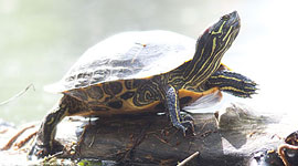 Red-eared slider, Hanlan's Point, Toronto Islands