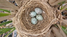 Blackbird eggs in nest, Trout Pond, Toronto Islands