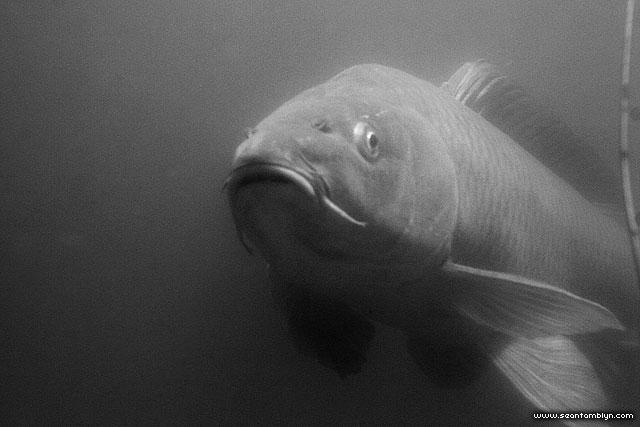 Common carp, Pike Cut, Toronto Islands