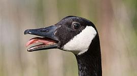 Hissing Canada Goose, Snake Island, Toronto Islands