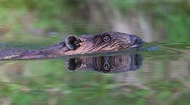 Beaver, Algonquin Island, Toronto Islands